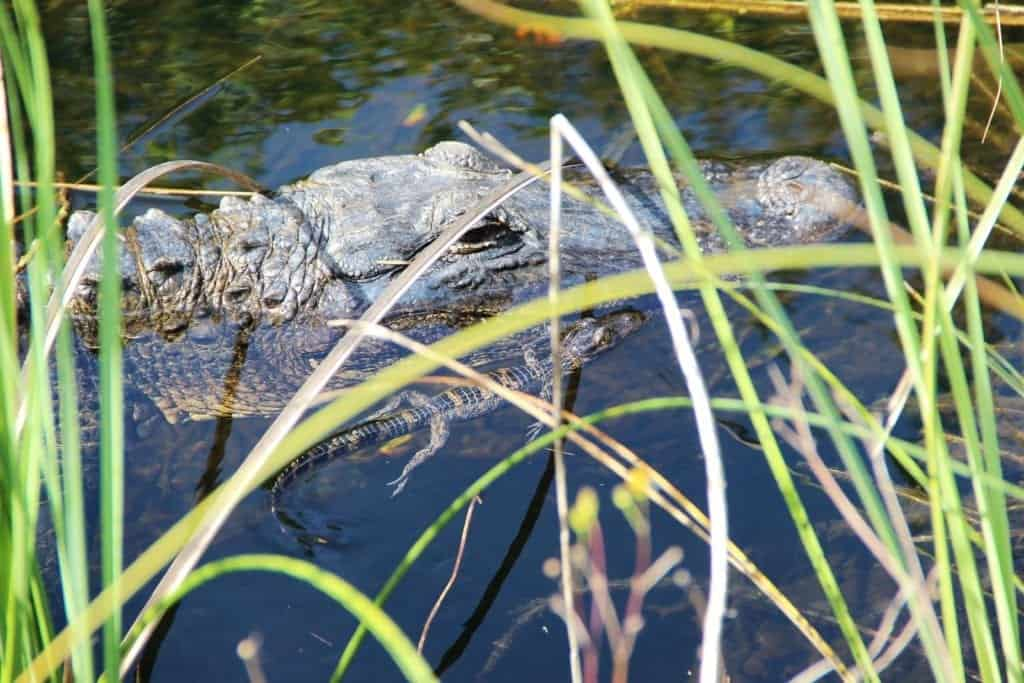 An alligator in a marsh.