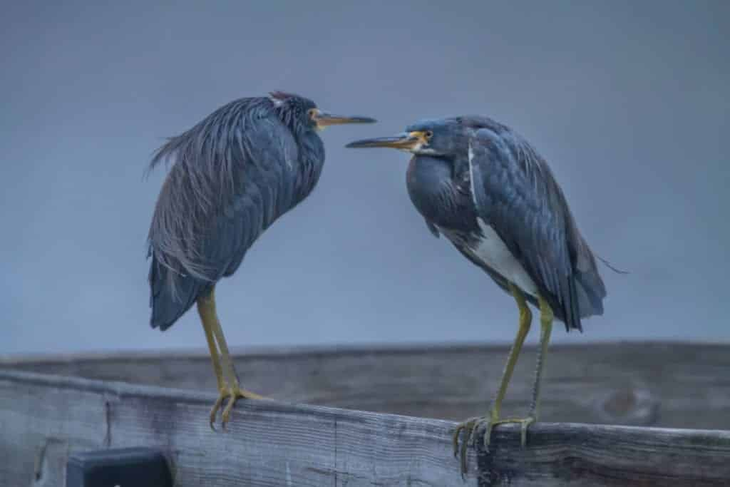 Two blue herons sitting on a wooden structure.